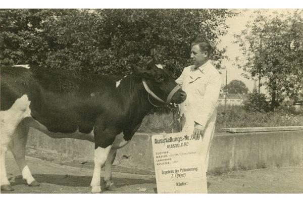 1952 Auswahl von Tieren mit ausgezeichneter Fleischqualität